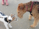 We met Kirra! A fox terrier, coming from Australia. She got the name of a beach over there!